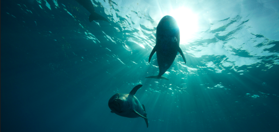 Wild Dolphins in the Bahamas