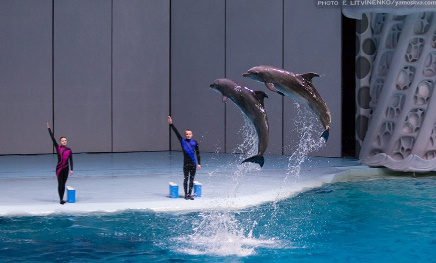 Performing dolphins at Moskvarium, Moscow, Russia