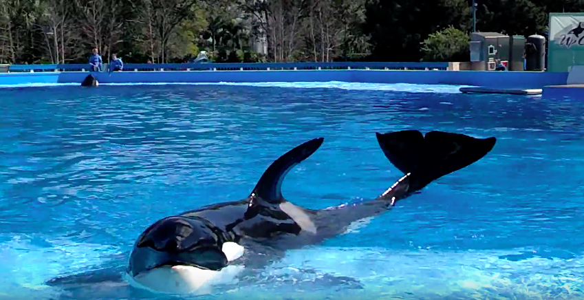 SeaWorld orca during training session