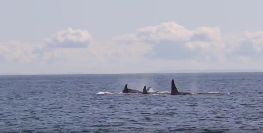 Wild orcas off British Columbia