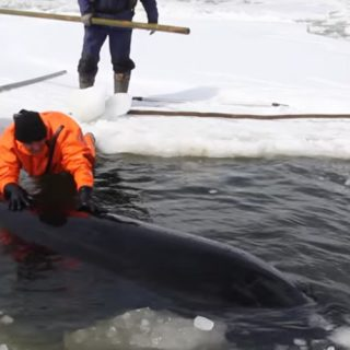 Orcas freed from ice by Russian rescue workers