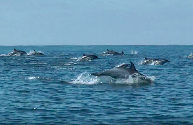 Superpod of Common Dolphins, San Diego