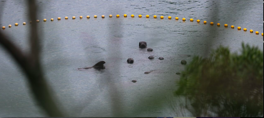 Remainder of pilot whale pod awaits their fate in the cove, Taiji, Japan, 9-18-16