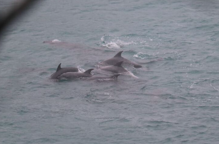 Pod of bottlenose dolphins huddle together after being driven into The Cove
