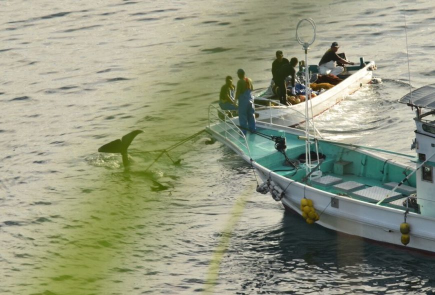 Dead pilot whale dragged back to harbor after slaughter, Taiji, Japan