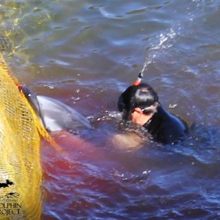 Striped dolphin throws itself onto rocks and nets, trying to escape hunters.