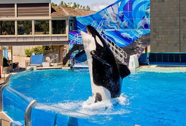 Orca at SeaWorld San Diego