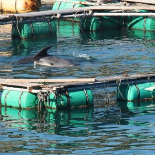 Freshly-caught bottlenose dolphins, Taiji, Japan
