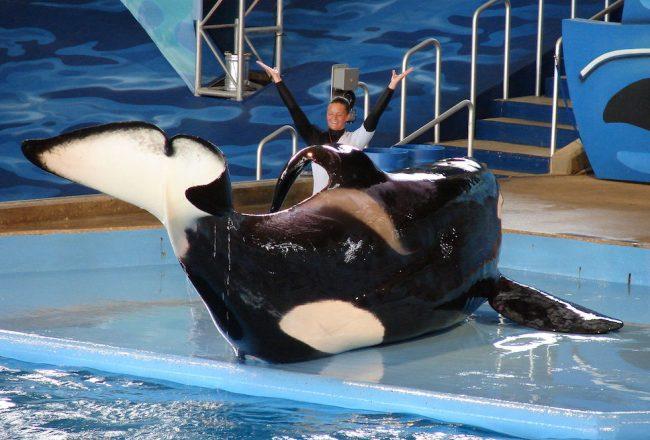 Performing orca at SeaWorld, San Antonio, TX