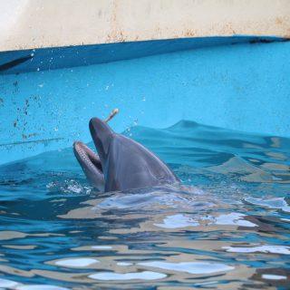 Captive bottlenose dolphin, Taiji, Whale Museum