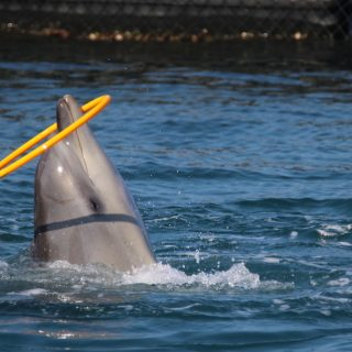 captivity, bottlenose dolphins, swim-with-dolphins programs