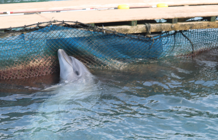 Facts About Dolphin Captivity Taiji Dolphin in Pen