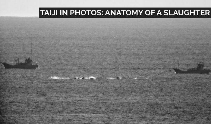 Dolphins being hunted in Taiji, Japan