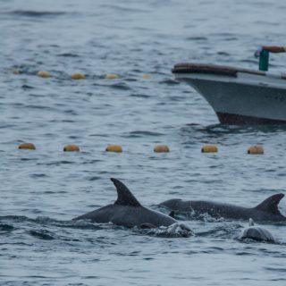 Taiji Japan's notorious dolphin hunts