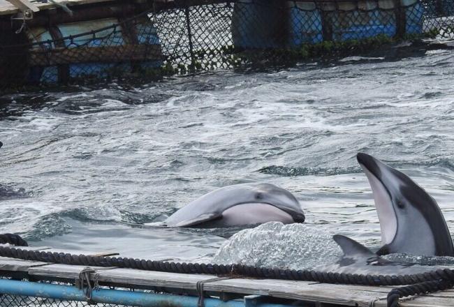 The Cove, Taiji, Japan, Dolphin Hunting, Dolphin Slaughters, Dolphin Drives, Captivity, Dolphin Project Cove Monitors