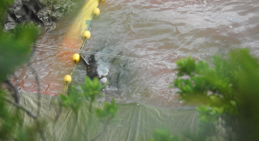 Exhausted pilot whales swim in the blood of their dead pod members, Taiji, Japan.