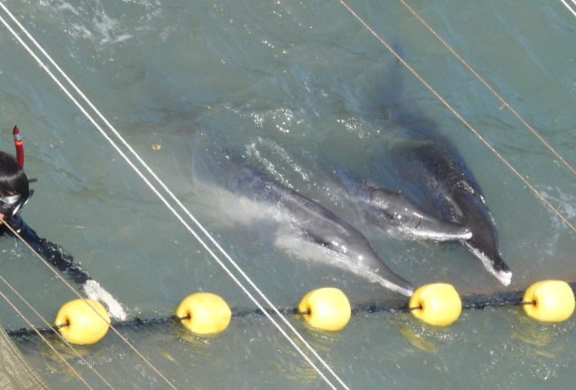 Rough-toothed dolphins driven into the cove, Taiji, Japan, 10-11-17