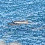Mother and calf striped dolphins amongst those slaughtered in the cove, Taiji, Japan