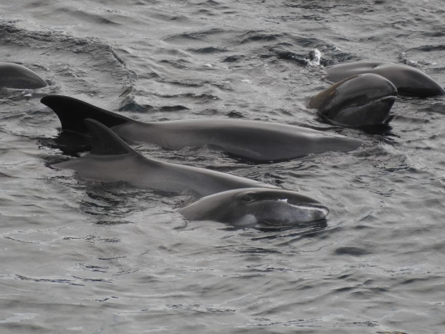 Melon-headed whales after being driven into the cove, Taiji, Japan.