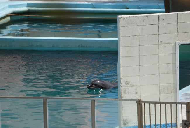 Bottlenose dolphin Honey abandoned in Inubosaki Marine Park Aquarium, city of Choshi in Chiba prefecture, Japan
