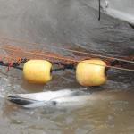 Striped Dolphin Slaughter, Taiji, Japan, 11-8-18