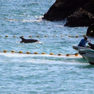 Taiji, Japan Dolphin Slaughter