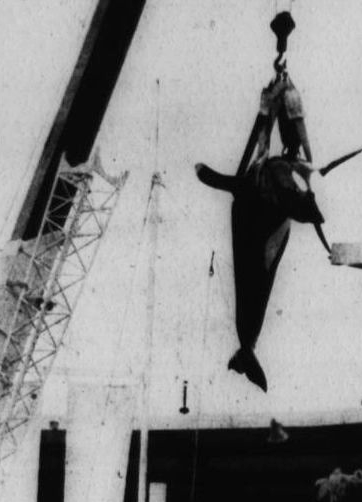 Hugo's body being removed from the Miami Seaquarium.
