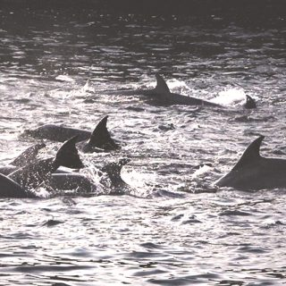 Taiji dolphins