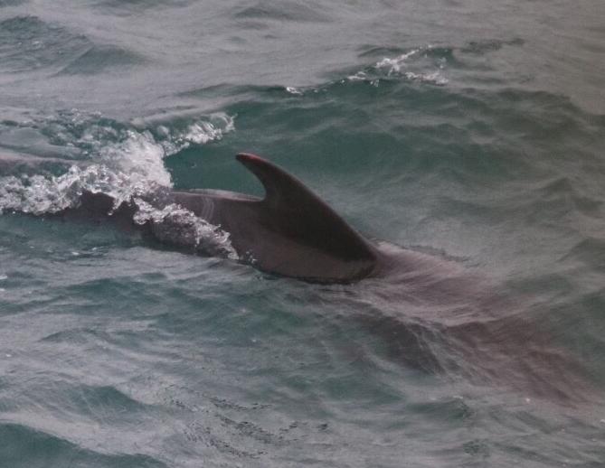 last remaining pilot whale
