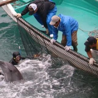 Dolphins wrangled during captive selection, Taiji, Japan, Dec 21 2015