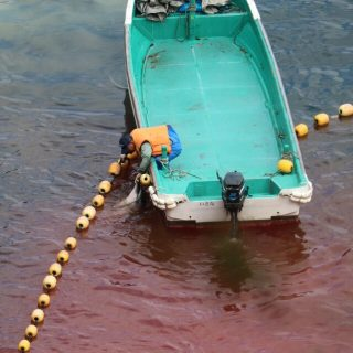 Striped dolphin slaughter, Taiji, Japan, 1-26-16