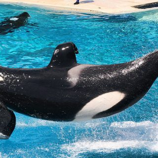 Orcas performing at SeaWorld