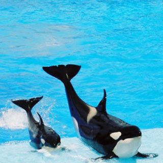 Performing orcas at SeaWorld