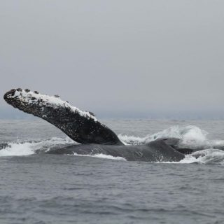 juvenile humpback whale surface feeding
