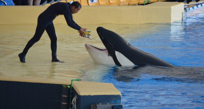 Captive orca at Loro Parque