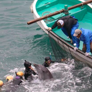 Taiji Prepares to Steal Lives for Profit