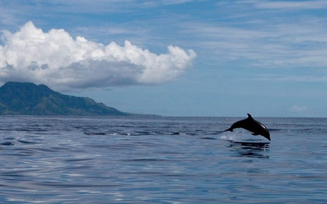 Wild bottlenose dolphin. Credit: DolphinProject.com