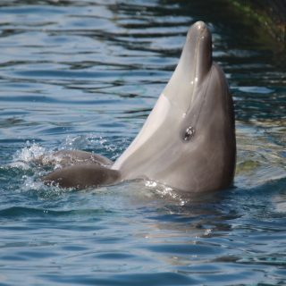 captivity kills, bottlenose dolphin, Taiji, Japan