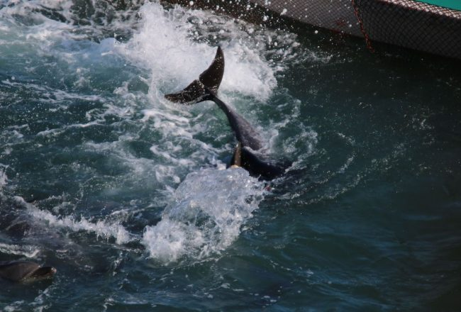 Dolphin panics while attempting to avoid divers, Taiji, Japan