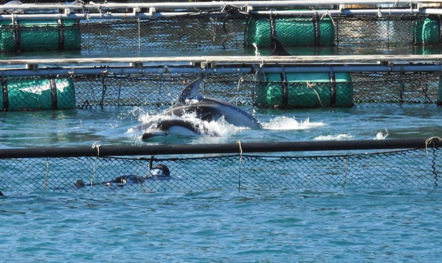 "Trapped! Pacific white-sided dolphins captured for ""life"" in captivity, Taiji, Japan"