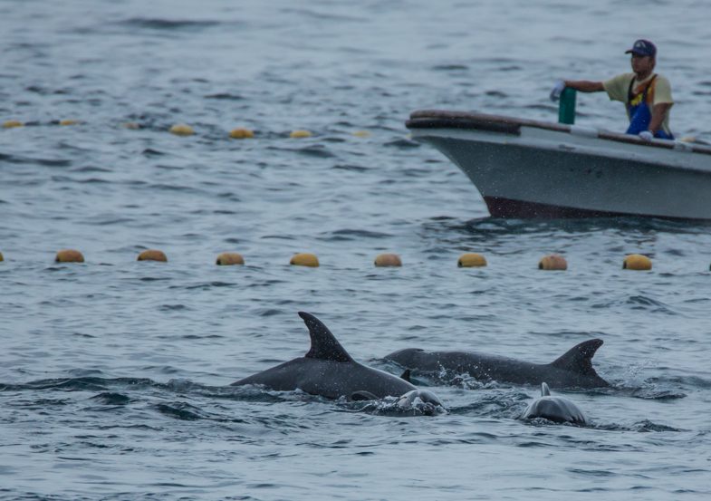 Taiji Japan's notorious dolphin hunts