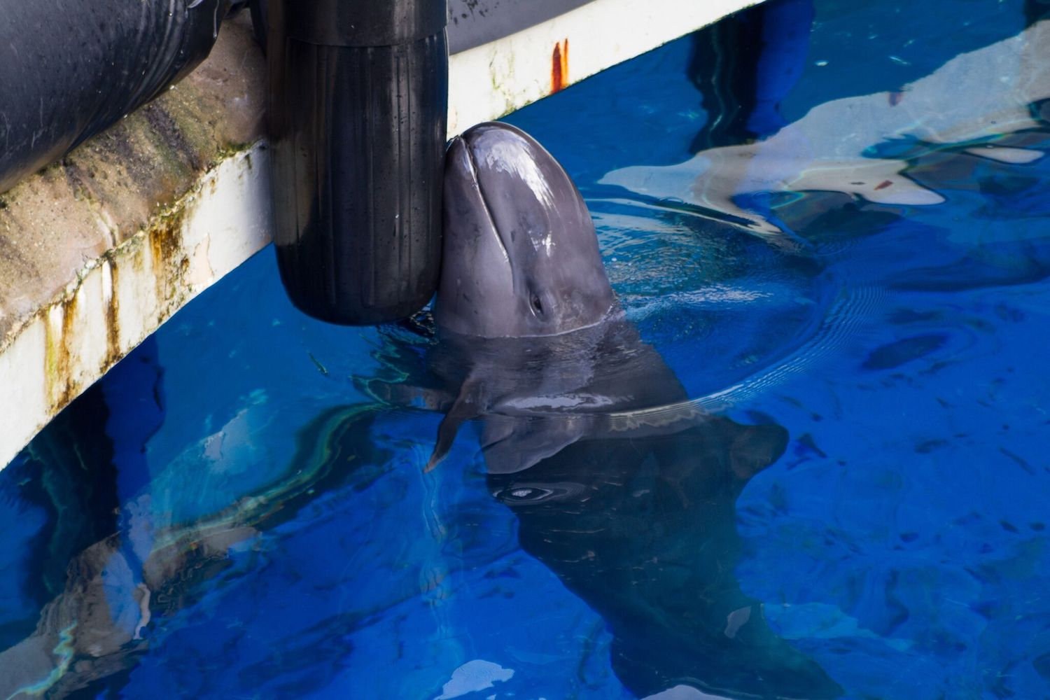 Chester, false killer whale, Vancouver Aquarium