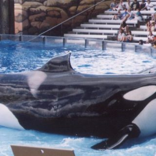 Orcas, Killer Whales, SeaWorld, Blackfish