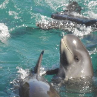 Pygmy killer whales driven into the cove, Taiji, Japan