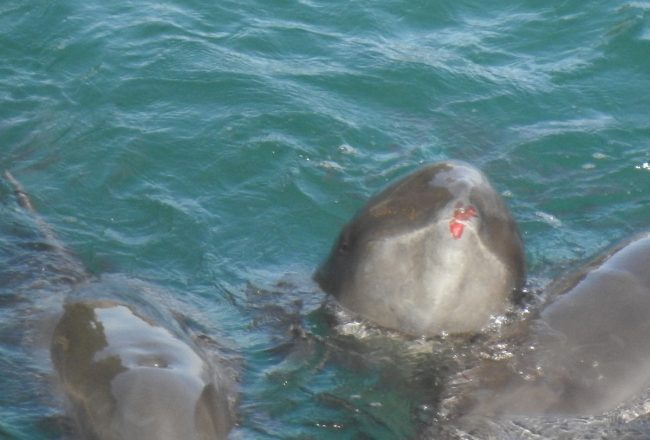 Injured melon-headed whale after being driven into The Cove, Taiji, Japan