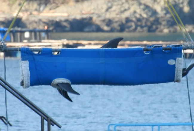 Dolphin is transferred out of Taiji's harbor pens to destinations unknown.