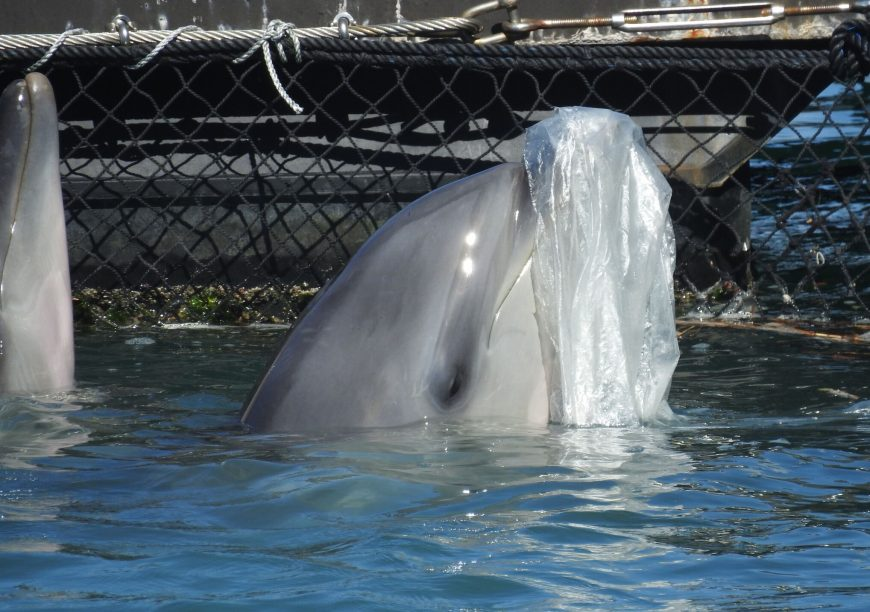 Captive bottlenose dolphin entertains itself with plastic bag, Taiji, Japan