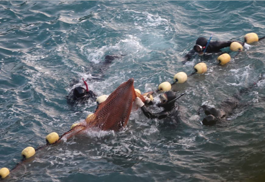 Brutality in the cove as captive selection takes place of bottlenose dolphins, Taiji, Japan
