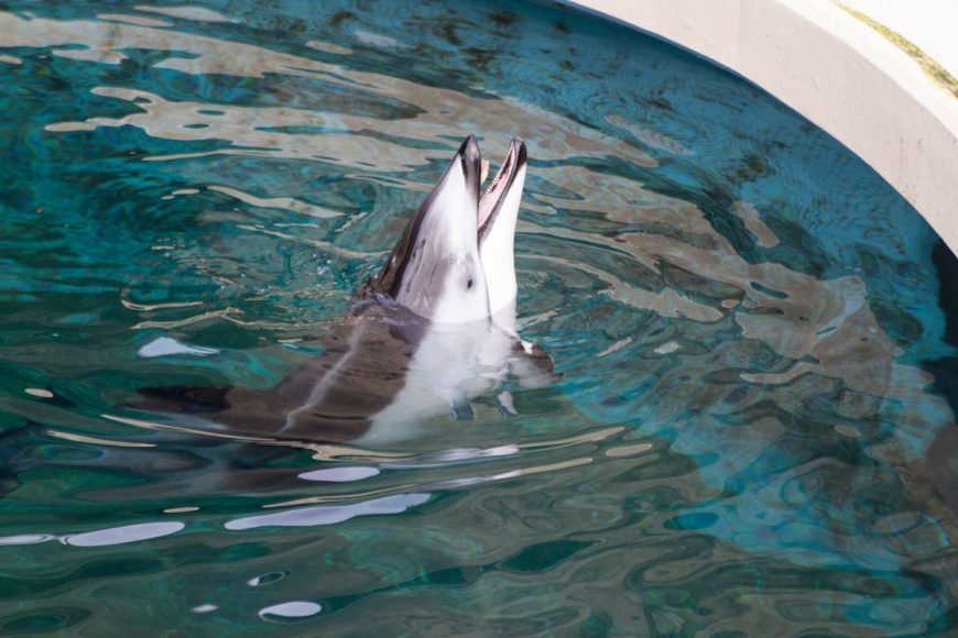 Helen, Pacific white-sided dolphin, Vancouver Aquarium