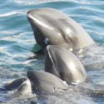 Melon-headed whales after being driven into the cove, Taiji, Japan